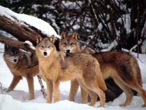 nyctalking wolf