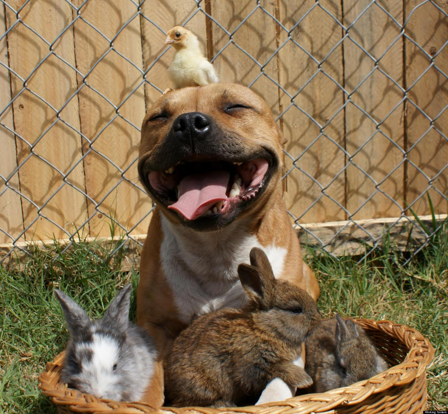 pitbull happy