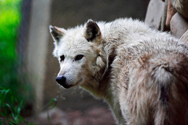 Grey_Wolf-630×418