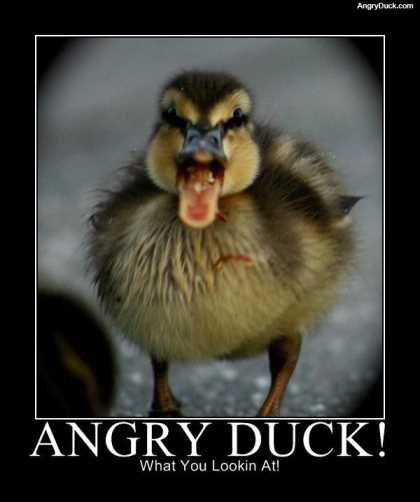 angry-duck (1)