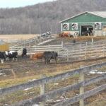 cows-150×150