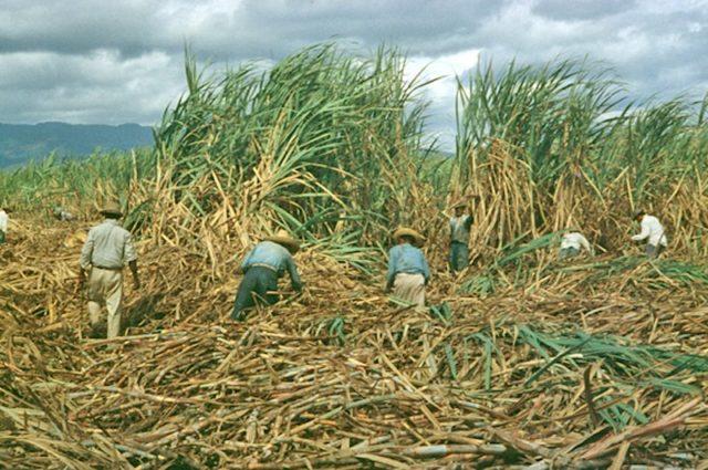 sugar-cane-pr